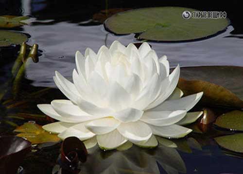 Водяные лилии мастер класс